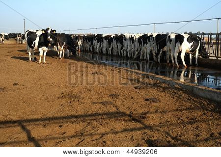 These cattle are feeding at a trough in a large Central California dairy farm poster
