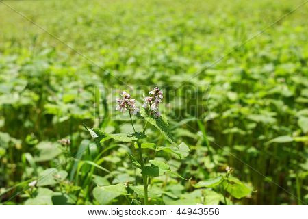 Green field of buckwheat