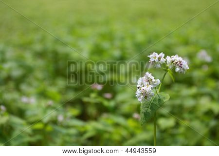 Buckwheat blossom against green blurred background