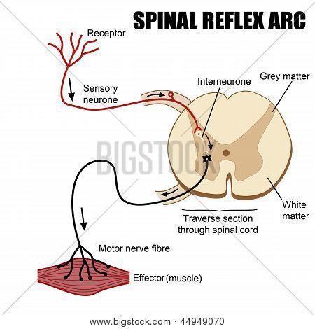 Spinaler Reflexbogen
