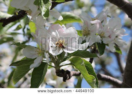 Bee Explores Apple Blossom