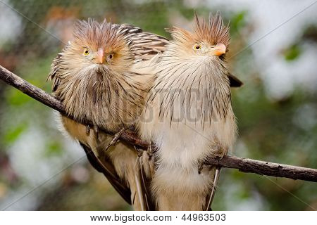 Pair of Guira cuckoo birds
