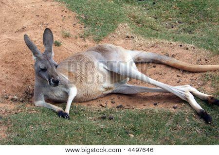 Kangaroo Reclining