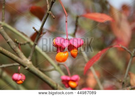 European Spindle Tree in Autumn