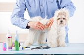 Smiling man grooming a dog purebreed maltese with scissors poster