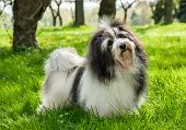 Cute Havanese dog is standing in a beautiful sunny grassy field poster
