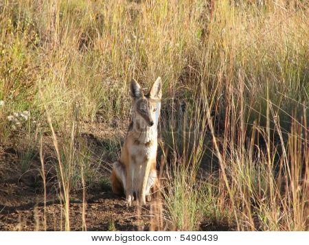 African Fox
