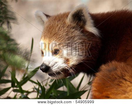 Red Panda, Ailurus Fulgens.