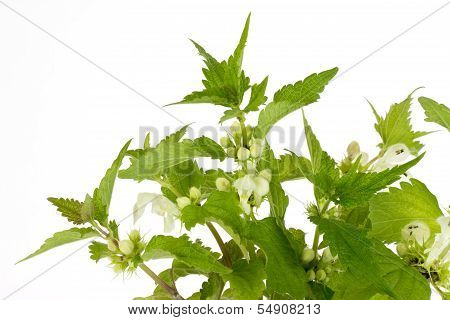 Closeup Of Stinging Nettles