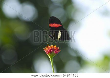 Erato Longwing (heliconius Erato)