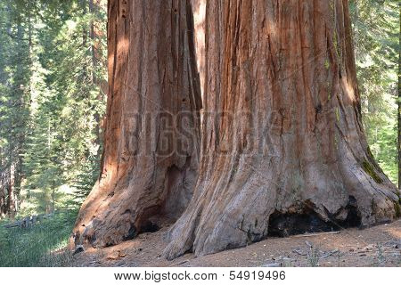 Mariposa Twin Sequoias