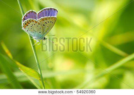 Polyommatus icarus in nature