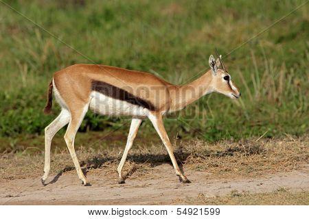 Thomsons gazelle (Eudorcas thomsonii), Amboseli National Park, Kenya
