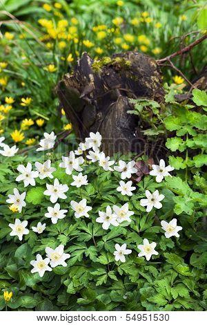 Wood Anemone En Lesser Celandine Flowers In Spring