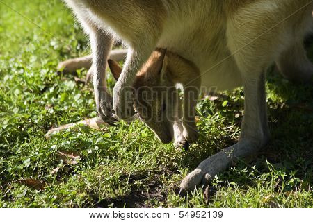 Female wallaby with joey in puch on grass in close view poster