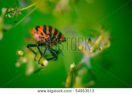 Shield Bug With Green Background