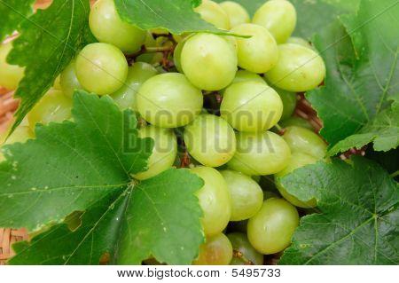 Green Grape Closeup