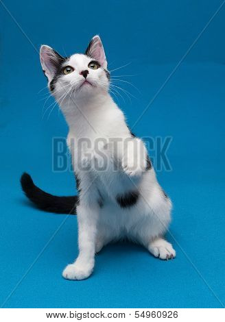 White Cat With Black Spots Teenager Playing On Blue Background
