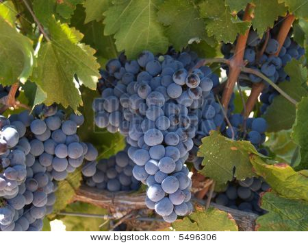 Grape Vineyards
