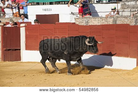 Capture of the figure of a brave bull in a bullfight