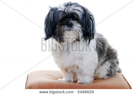 Lhasa Apso Isolated