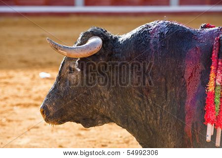 Capture of the figure of a brave bull Vitorino in a bullfight Spain poster
