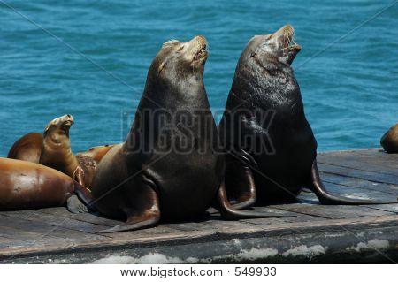 Singing Sea Lions
