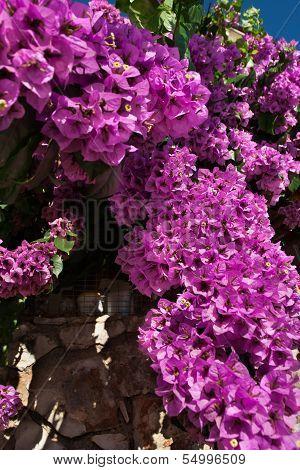 Beautiful Cyclamen Bugenvillea