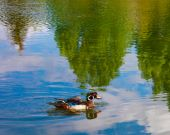 Beautiful Duck swimming in the lake of reflections. poster