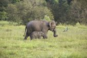 a mother and baby elephant in wasgomuwa national park sri lanka poster