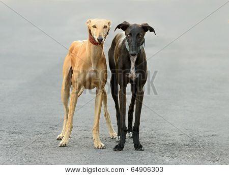Two Female Spanish Galgo Dogs