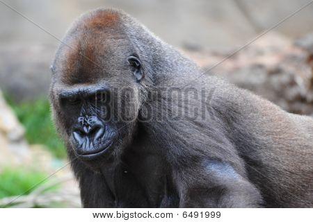 A large silverback gorilla
