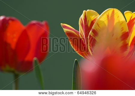 Yellow Red Tulip