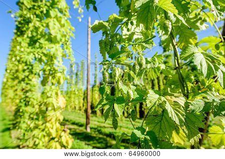 Austrian Hop Plantation