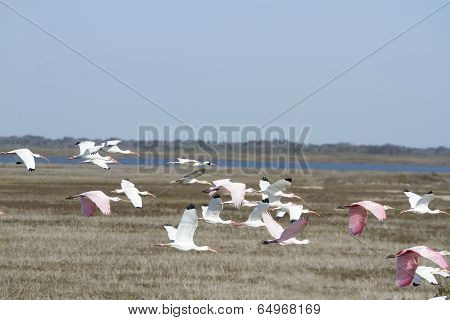 White and Pink Ibis