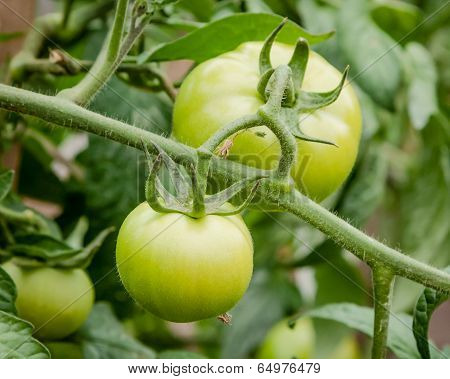 Organic Green Tomatoes Ripening On The Vine In A Garden