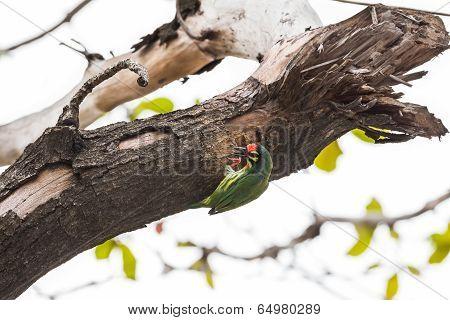 The Coppersmith Barbet Bird
