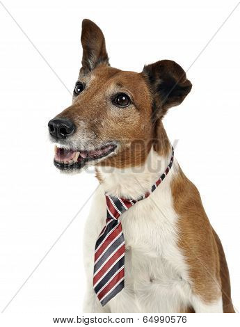 Jack Russell Terier in tie