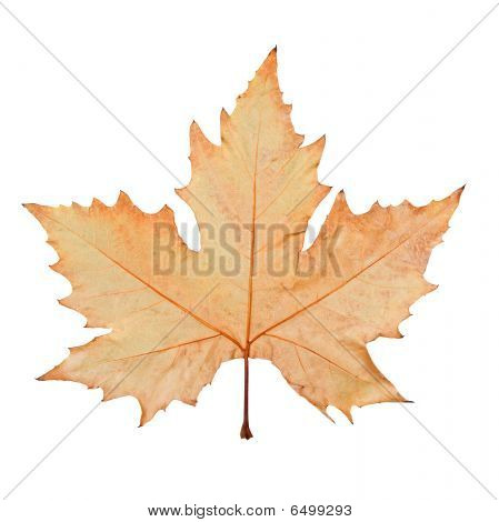 Maple Leaf (with Clipping Path)