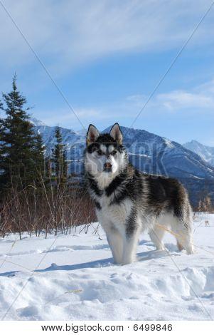 Siberian Husky Winter