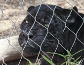 A Close Up Black Panther Inside the Wire of its Zoo Enclosure poster
