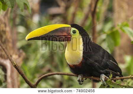 Toucan Chestnut-mandibled