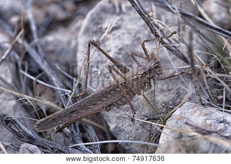 Giant Grasshopper (Caelifera) Near Grand Canyon, Arizona, USA