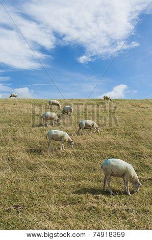 Sheep On Dike