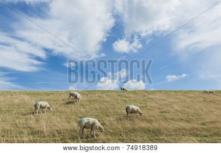 Sheep On Dike On Texel