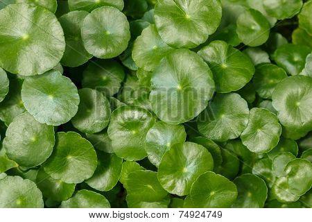 Centella Leaves
