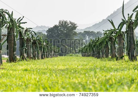 A Field With Fruit Bushes Hylocereus On A Background Of Sky