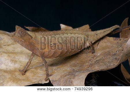 Leaf chameleon / Brookesia superciliaris