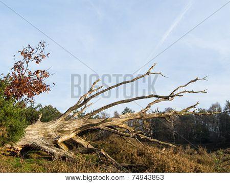 Dead Tree In Heathland