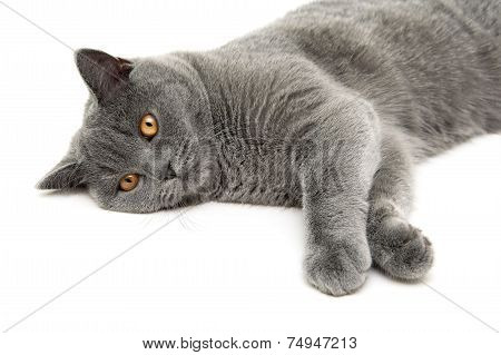 Young gray cat breed Scottish Straight lies on a white background. Horizontal photo. poster